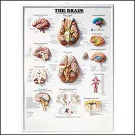 Brain 3D Raised Relief Chart - Model 1587790920, Each
