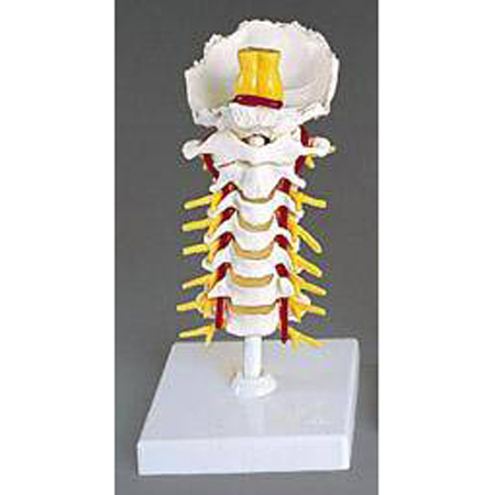 Cervical Vertebral Column - Model A72, Each