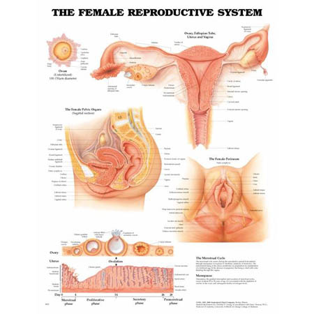 Female Reproductive System Anatomical Chart - Model 1587790203, Each