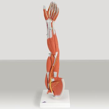 Muscular Anatomy of the Arm and Shoulder - Item #563592