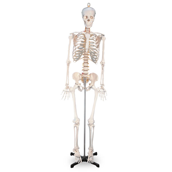 Nasco Human Skeleton Legs And Arms Removable Each Model Sb02011u