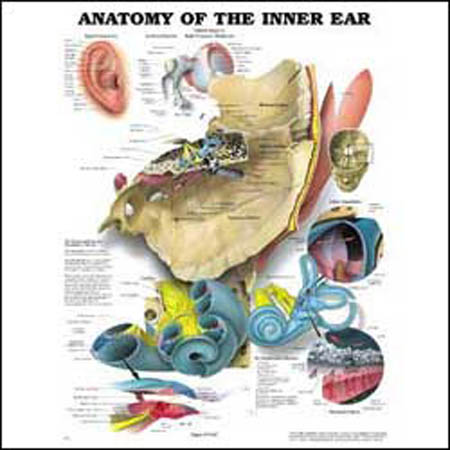 Anatomy of the Inner Ear Anatomical Chart - Model 1587790858, Each