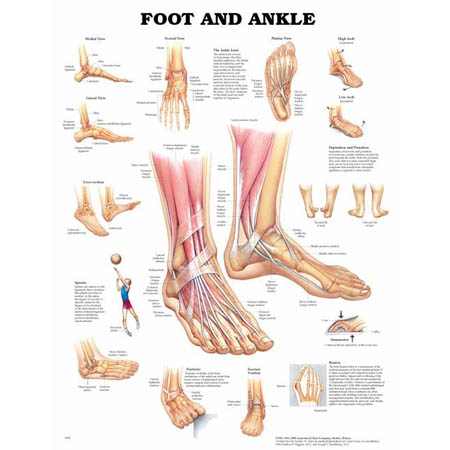 Foot and Ankle Chart - Model 1587791374, Each