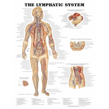 Lymphatic System Anatomical Chart - Model 1587790254, Each