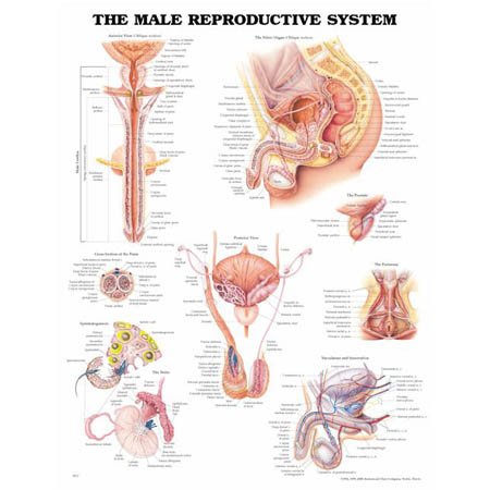Male Reproductive System Anatomical Chart - Model 1587790300, Each