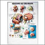 Anatomy Of The Brain Chart - Model 1587790890, Each