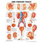 Urinary Tract Anatomical Chart - Model 1587790718, Each