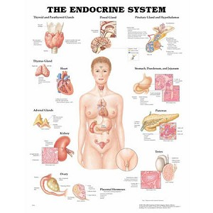 Endocrine System Anatomical Chart - Model 1587790157, Each